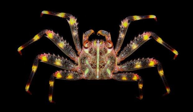 granchio tropicale