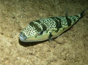 pesce palla maculato